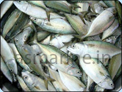Indian Mackerel Whole