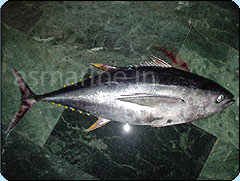 Yellow Fin Tuna Whole Round